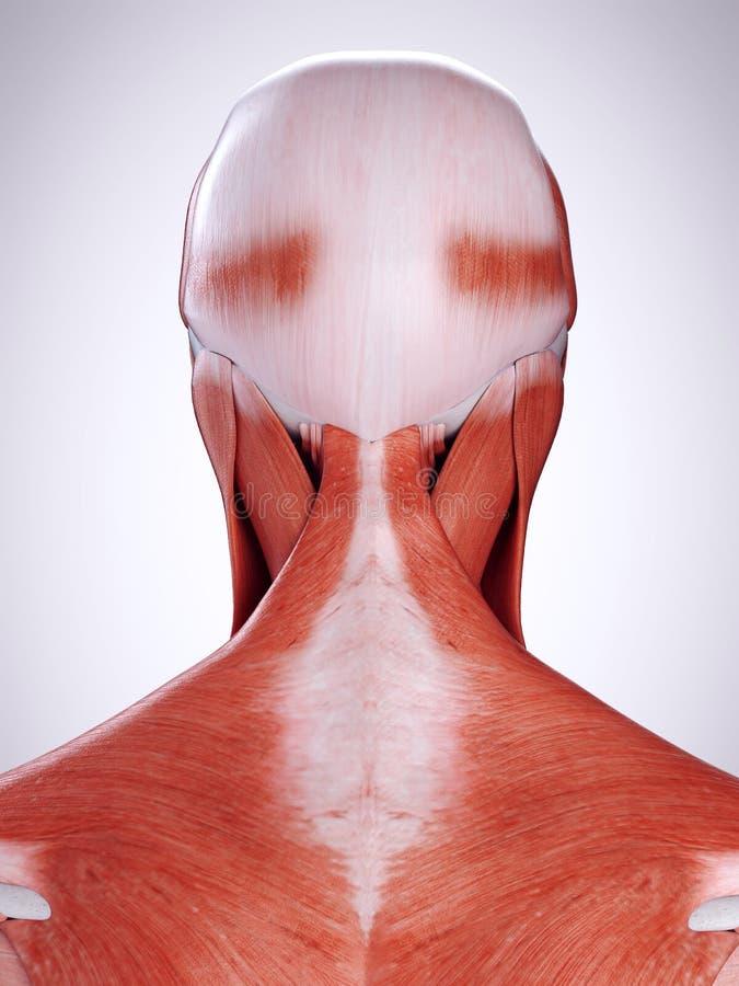 Die Halsmuskeln stock abbildung