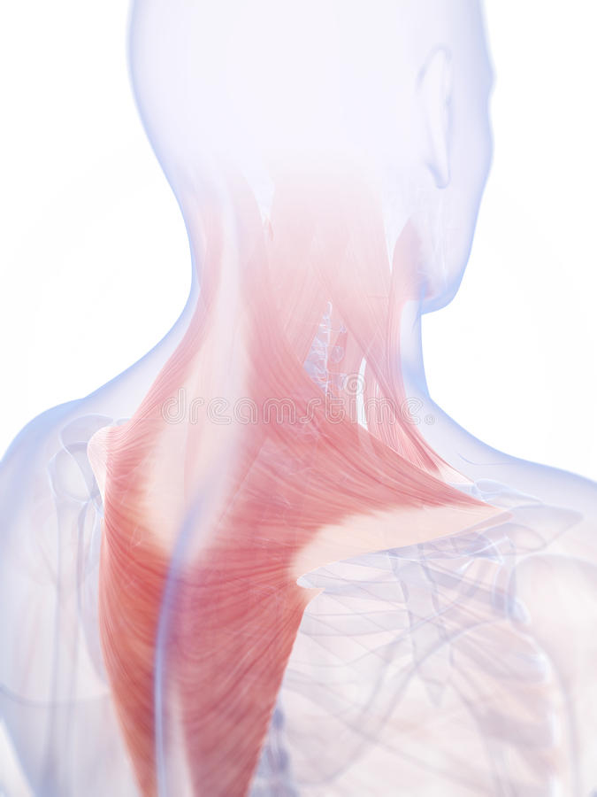 Die Halsmuskulatur stock abbildung. Illustration von muskulatur ...