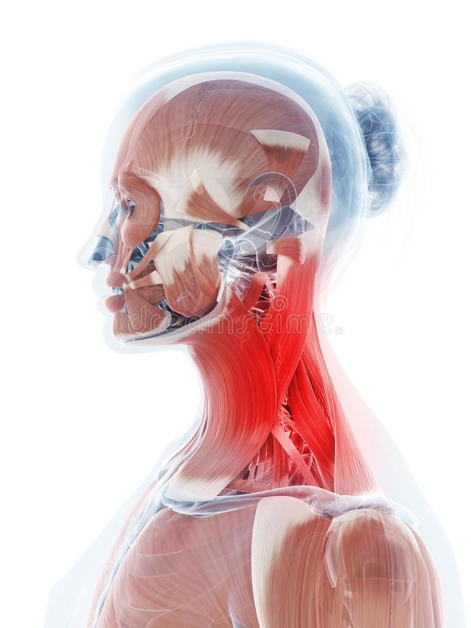 Die Halsmuskulatur stock abbildung. Illustration von verbindung ...