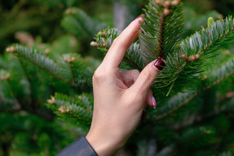 Die Hand der Jungefrau, die Tannenbaumast mit wenigen Knospen auf ihm - Weichzeichnung hält stockbilder