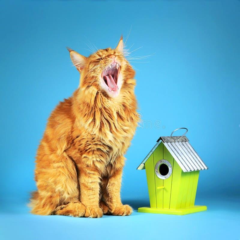 Die Hauptwaschbärkatze sitzt auf einem blauen Hintergrund nahe dem grünen Vogelhaus und dem Gähnen und wartet auf den Vogel lizenzfreies stockbild