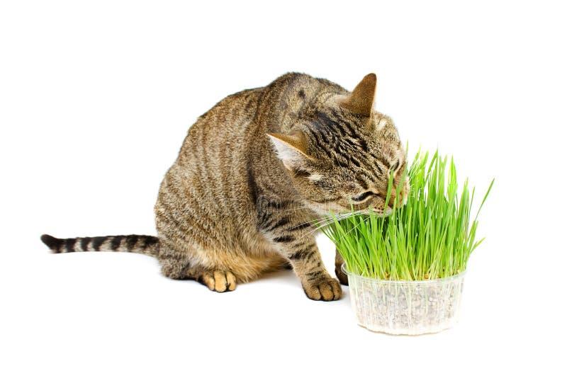Die Haustierkatze, die frisches Gras isst lizenzfreie stockfotografie