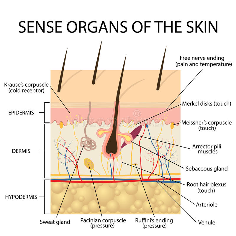 Die Haut ein Sinnesorgan mit einem dichten Netz von Nerven lizenzfreie abbildung