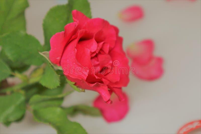 Die helle rote Rose auf dem Purpur stockfotos