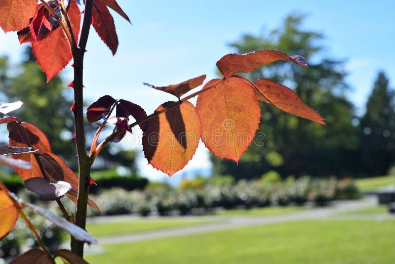 Die helle Vertretung durch die rosafarbenen roten Blätter stockfotografie