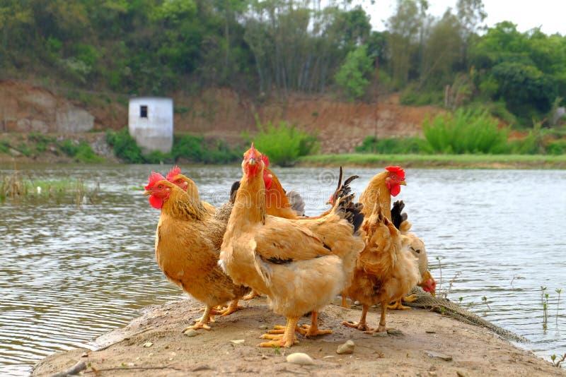 Die Hennen am Flussufer lizenzfreie stockfotos