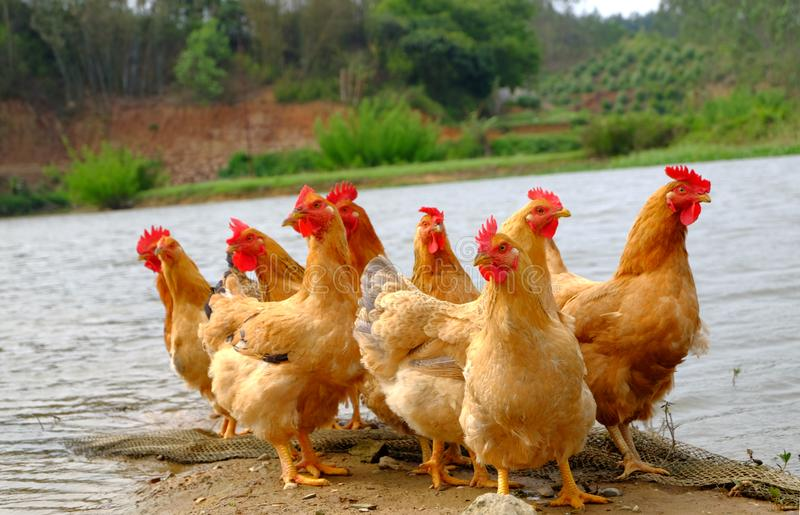 Die Hennen am Flussufer lizenzfreie stockbilder
