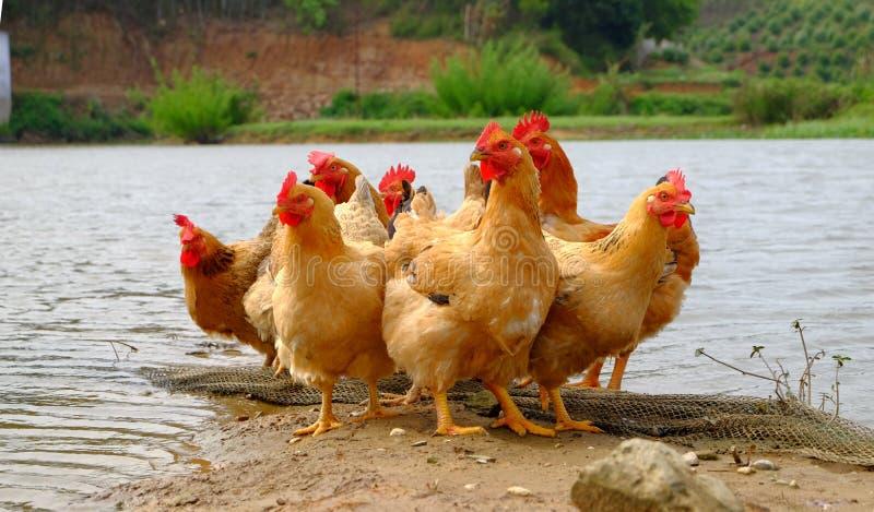 Die Hennen am Flussufer stockfotos
