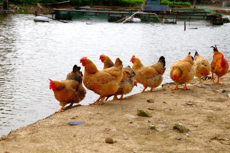 Die Hennen am Flussufer lizenzfreies stockfoto