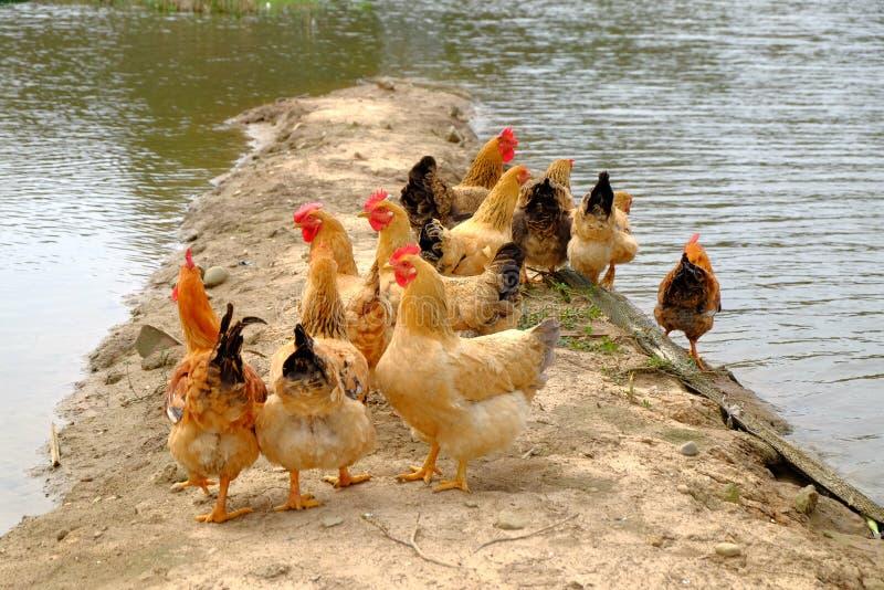 Die Hennen am Flussufer lizenzfreies stockbild