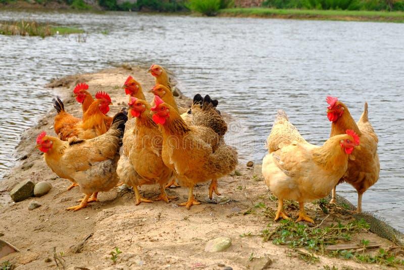 Die Hennen am Flussufer lizenzfreie stockfotografie