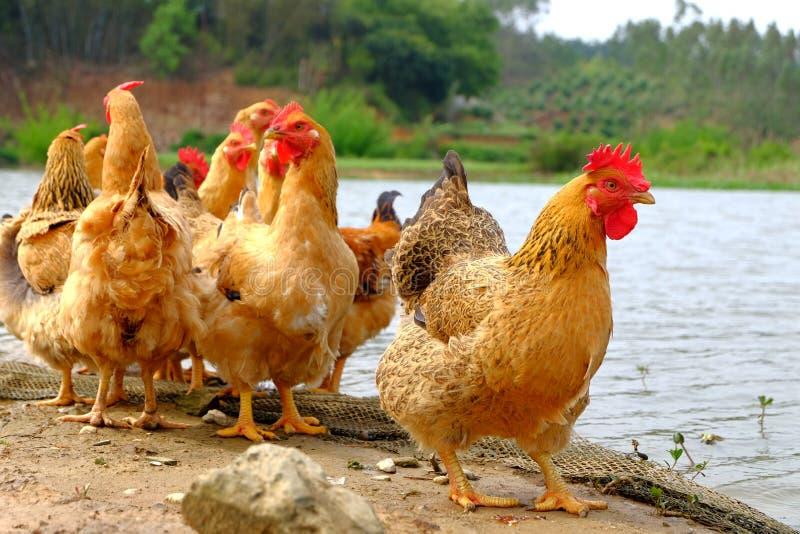 Die Hennen am Flussufer stockbild