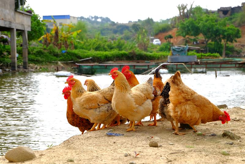 Die Hennen am Flussufer stockfotografie