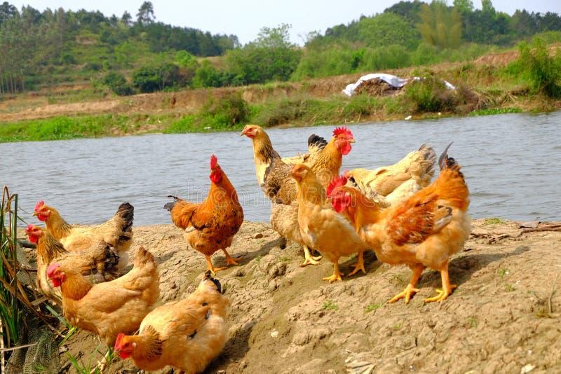 Die Hennen am Flussufer stockfoto