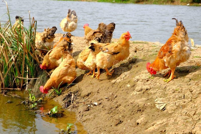 Die Hennen am Flussufer stockbilder
