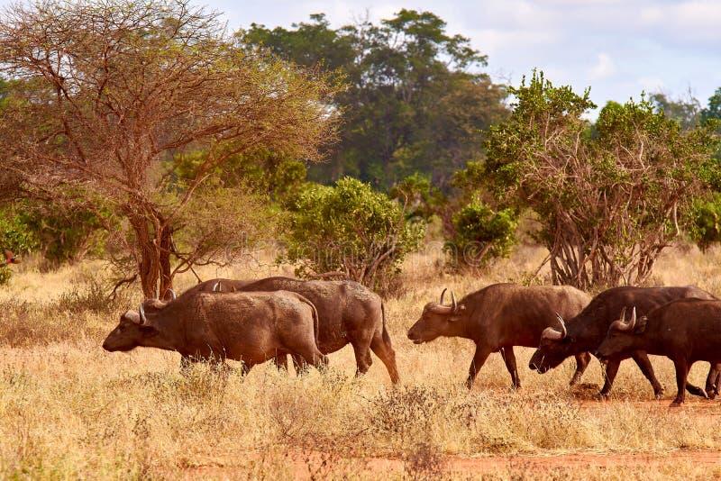 Die Herde des Büffels geht Savanne und Pfund in der Safari in Kenia, Afrika Bäume und Gras lizenzfreie stockfotografie
