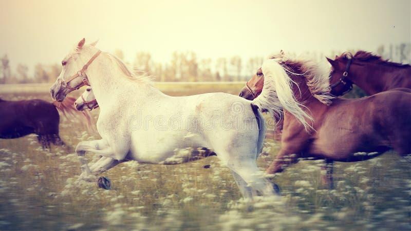 Die Herde von den Pferden, die Galopp über dem Feld laufen lassen lizenzfreie stockfotos