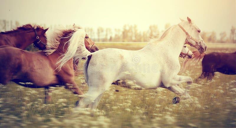 Die Herde von den Pferden, die Galopp laufen lassen lizenzfreie stockfotografie