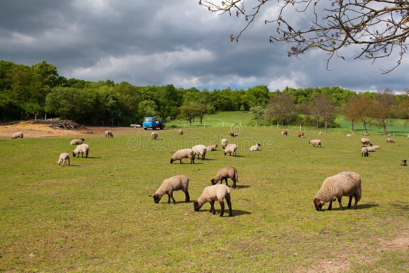 Die Herde von Schafen auf Frühlingswiese lizenzfreie stockbilder