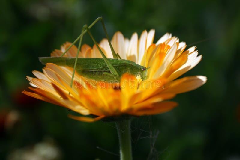 Die Heuschrecke, die auf einer gelben Blume sitzt lizenzfreies stockbild