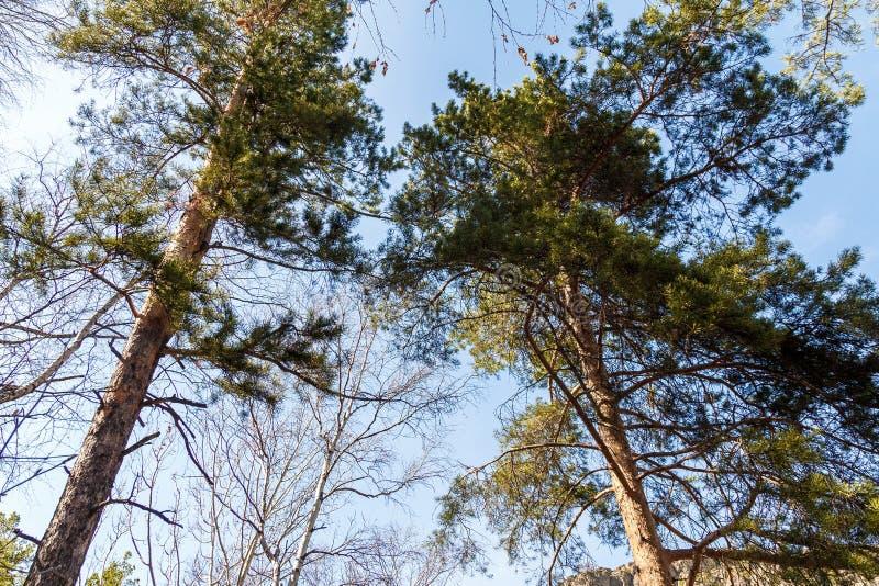 Die hohen Spitzen der Kiefer gegen den blauen Himmel lizenzfreie stockfotografie