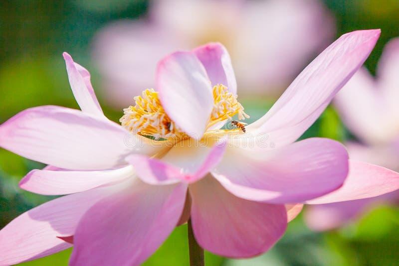 Die Honigbiene, die rosa Seerose- oder Lotus-Blume bestäubt, sind im blo stockfotografie