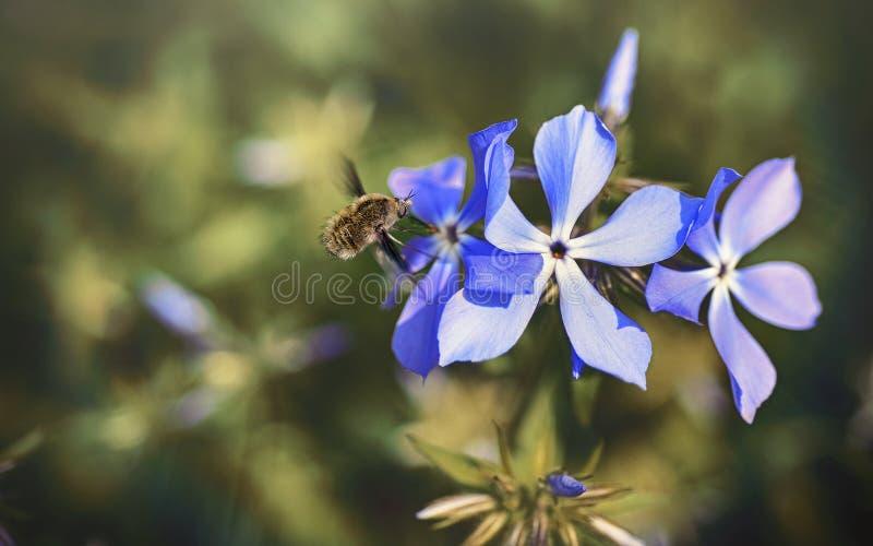 Die Hummel fliegt über eine Blume lizenzfreie stockfotografie