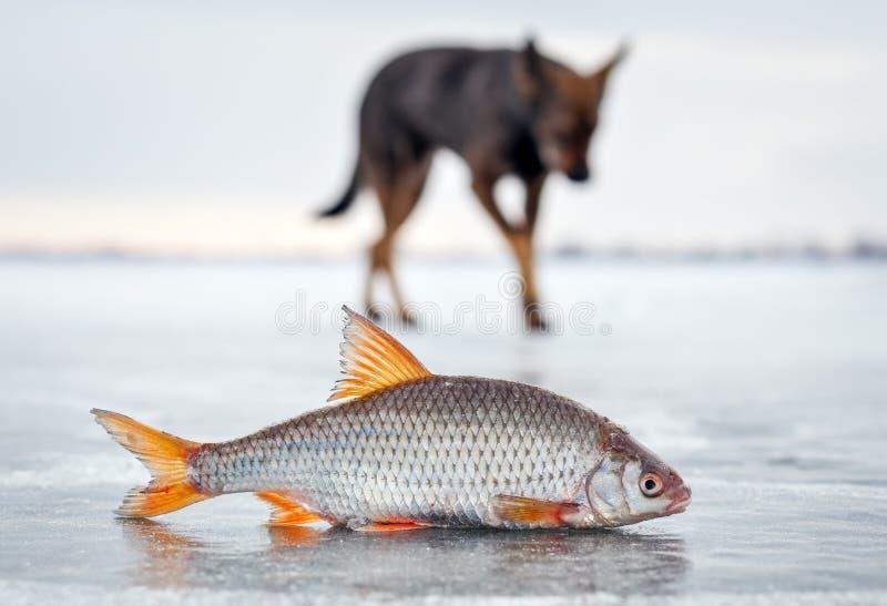 Die hungriger Hunde- und der frischen Fischehinterwelle stockbilder