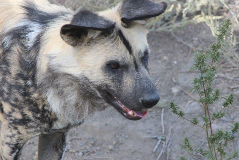 Die Hyäne stockfotografie