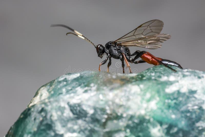 Die Ichneumon-Wespe (Coelichneumon-Viola) lizenzfreies stockfoto