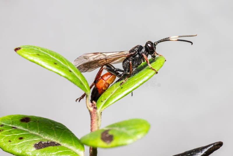Die Ichneumon-Wespe (Coelichneumon-Viola) stockfotos