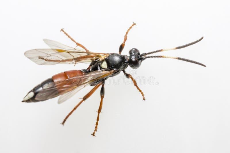 Die Ichneumon-Wespe (Coelichneumon-Viola) lizenzfreie stockbilder