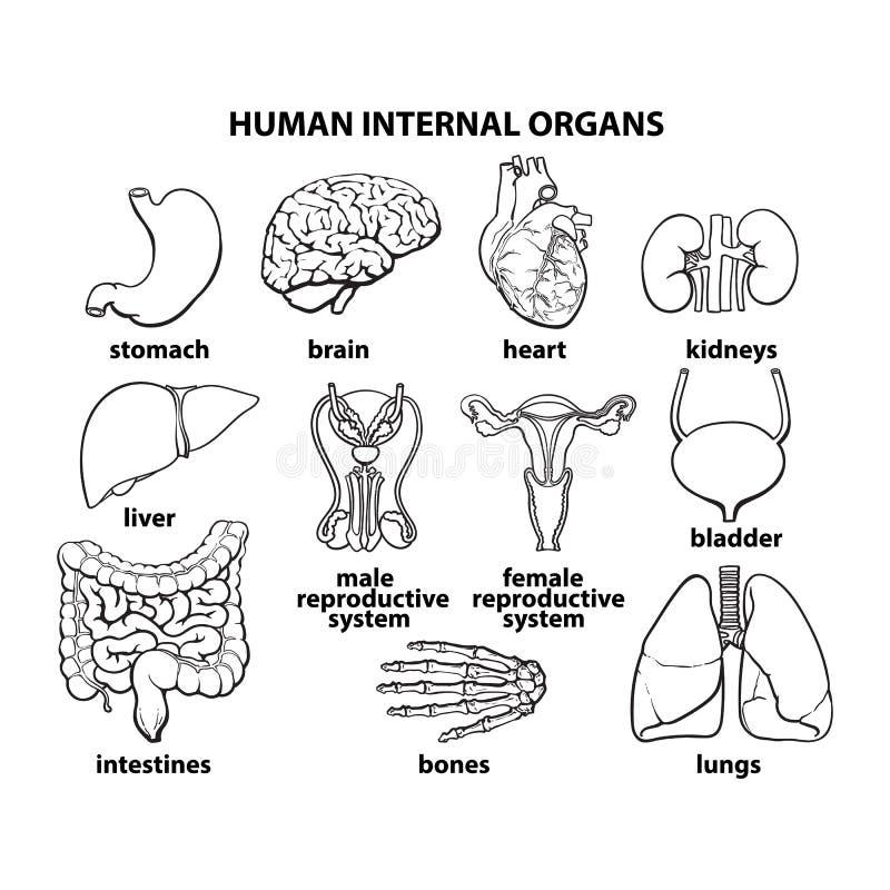 Die Inneren Organe Des Mannes, Satz Vektor Abbildung - Illustration ...