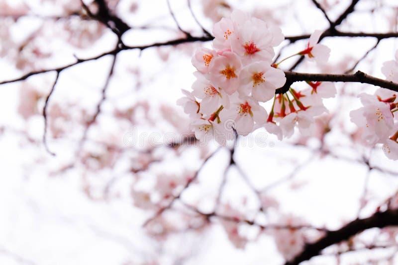Die Jahreszeit von Kirschblüte lizenzfreie stockfotografie