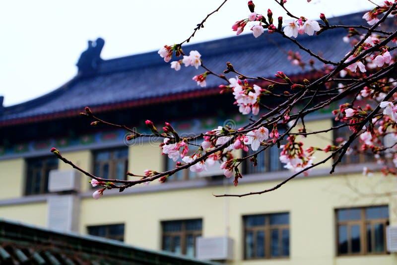 Die Jahreszeit von Kirschblüte stockbild