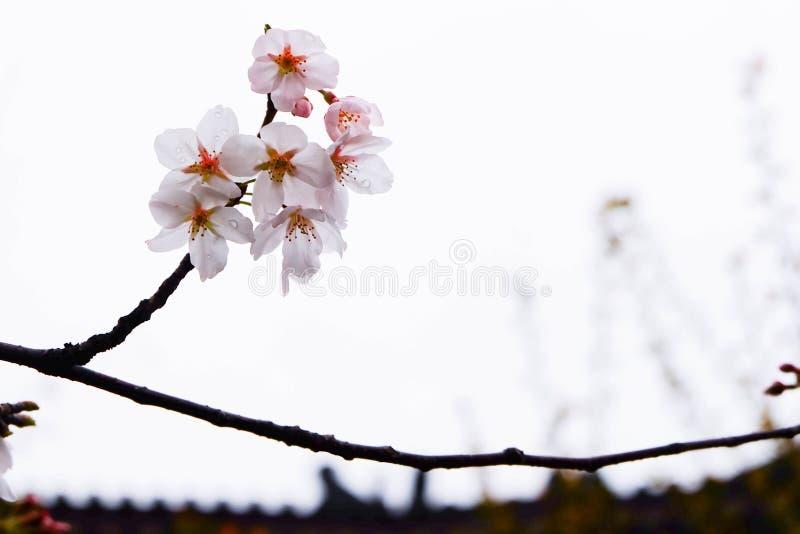 Die Jahreszeit von Kirschblüte lizenzfreie stockfotos