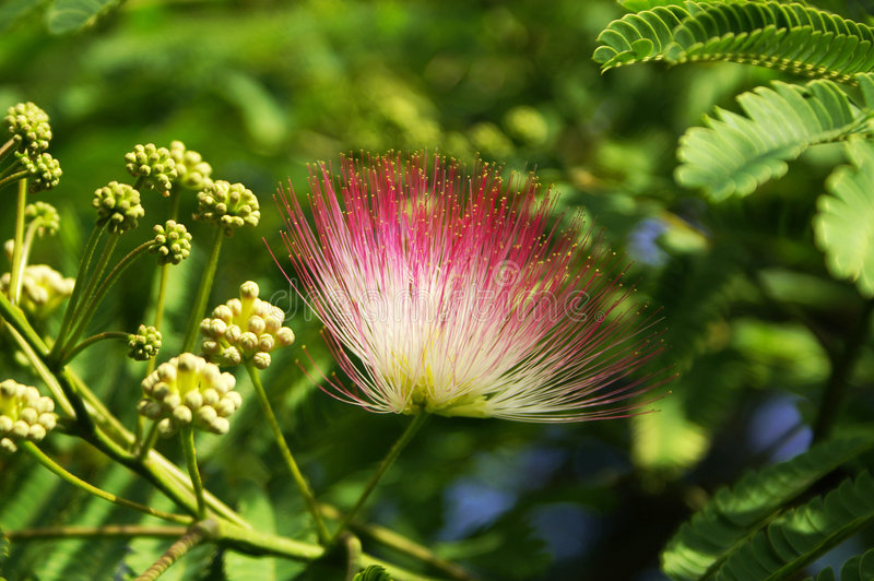 Die japanische Mimose lizenzfreie stockfotografie