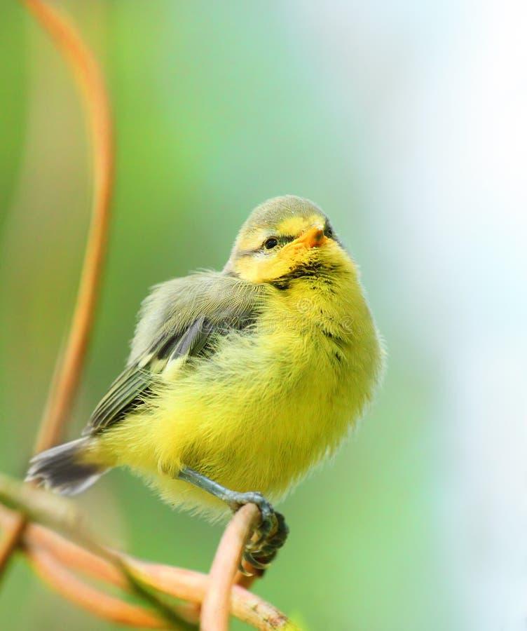 Die Junge des blauen Tit (Cyanistes caeruleus) birdie. lizenzfreies stockbild
