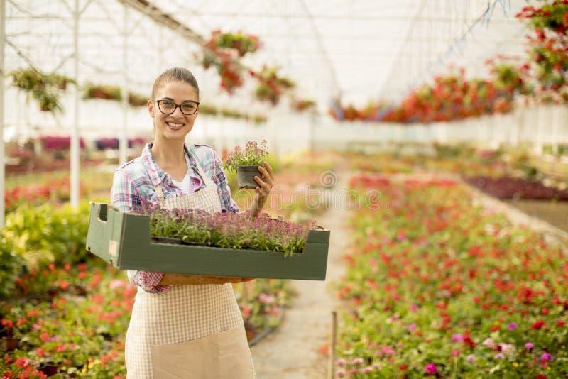 Die junge Frau, die einen Kasten voll vom Frühling hält, blüht im greenhou stockfotografie