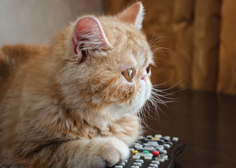 Die junge Katze einer roten Farbe von Zucht der Erregung-Sucher liegt an stockbilder