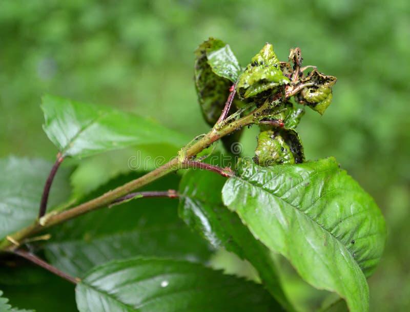 Die jungen Blätter der süßen Kirsche beschädigt durch eine Blattlaus stockfotos