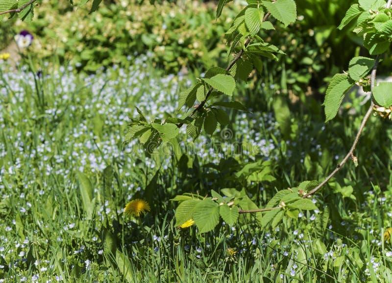 Die jungen Blätter der Ulme, eine Niederlassung des Solarbaums mit Jungen verlässt vor dem hintergrund eines unscharfen Gartens i stockfotos