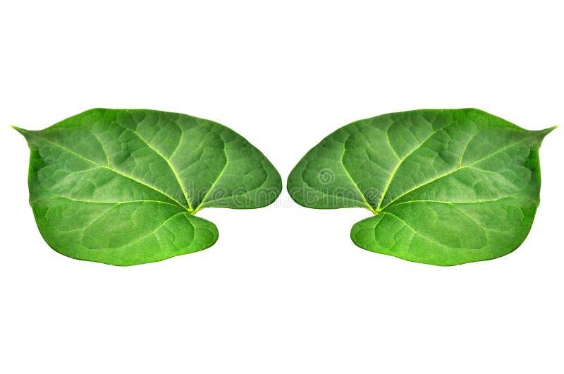 Die jungen peepul Blätter mit dem weißen Hintergrund und dem Beschneidungspfad stockfoto