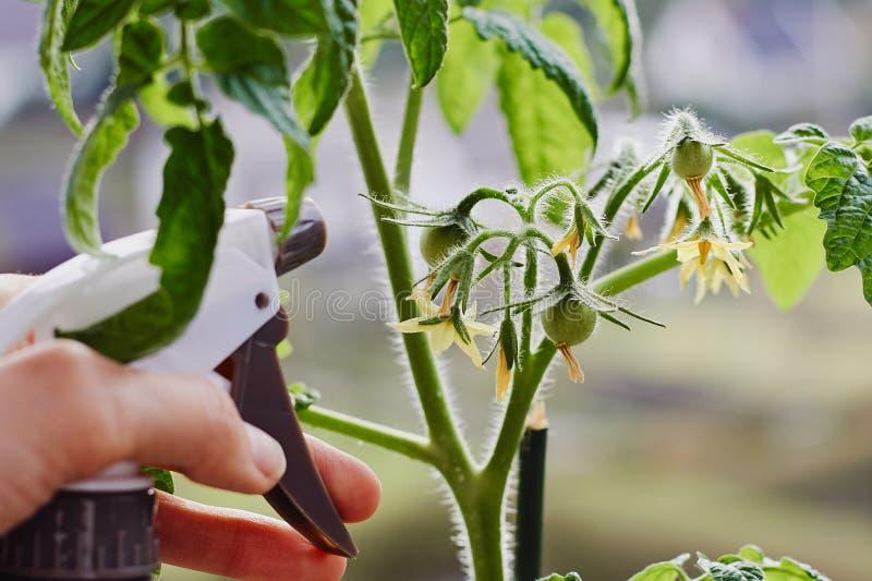 Die jungen Tomaten, die zuhause auf einem Fensterbrett und einer mitfühlenden Hand mit einer Sprühflasche wachsen, füllten mit Wa lizenzfreie stockbilder