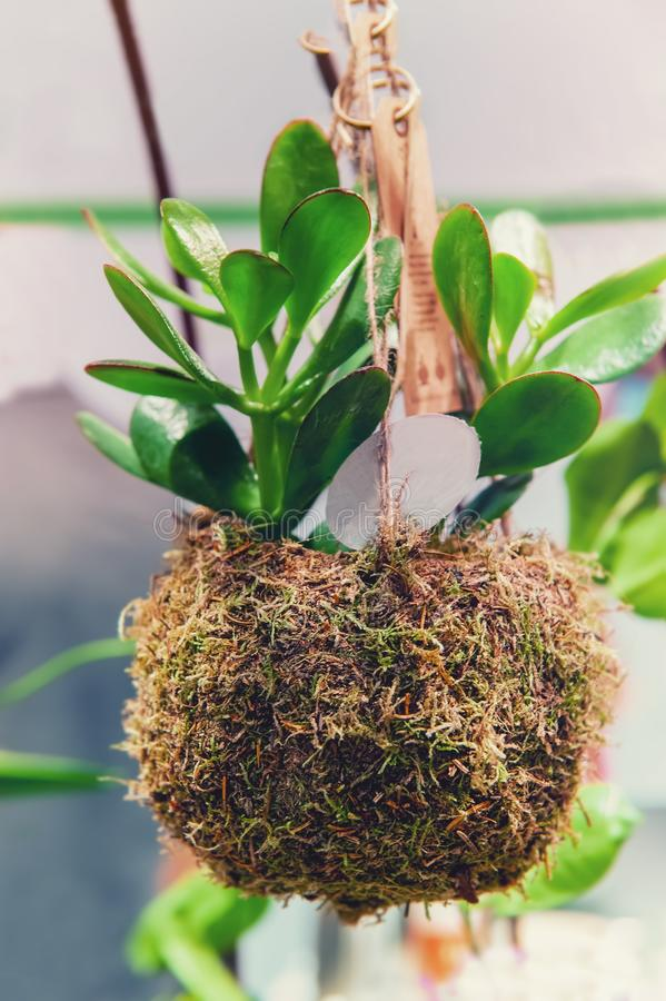 Die Jungpflanze der saftigen Jade im angepassten Pflanzer mit natürlichem Material und hängendem Moos Die moderne moderne Landwir lizenzfreie stockbilder