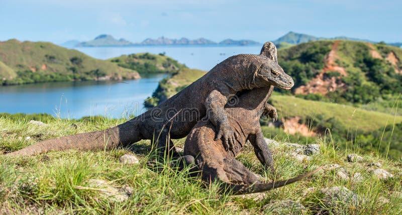 Die kämpfenden Komodowaran lizenzfreies stockbild