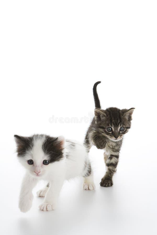 Die Kätzchen springend in Richtung zur Kamera lizenzfreies stockbild