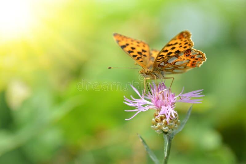Die Königin von Spanien-Fritillary Issoria-lathonia, Schmetterling des Familie Nymphalidae lizenzfreie stockfotografie