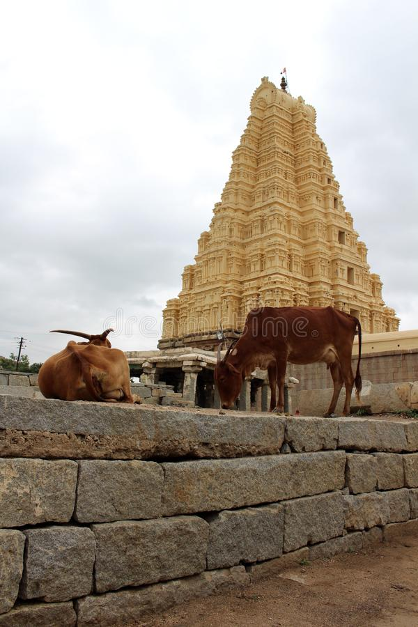 Die Kühe um Virupaksha-Tempel noch gebräuchlich von Hampi lizenzfreie stockfotografie