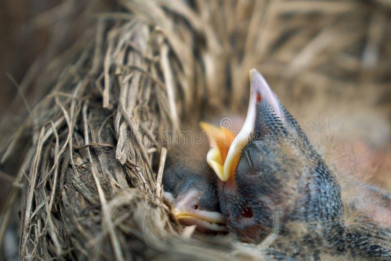Die Küken der hungrigen neugeborenen Drossel öffnen ihre Münder bitten um Nahrung stockbilder